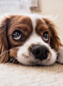 Sélectionner un bon éleveur pour votre chien